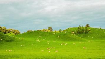 Time Lapse - Group of Sheeps Grazing on the Hills