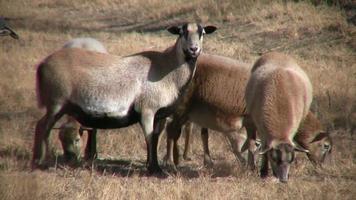 hd: pecora pelibuey