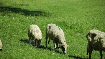 rebanho de ovelhas pastando no pasto video