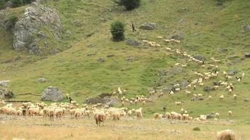 le pecore vanno in montagna