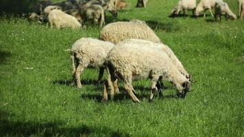 Flock of sheep grazing at pasture video