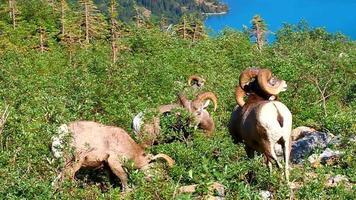 Parc national du glacier du mouflon d'Amérique