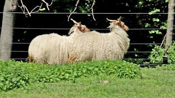"Two beautiful  hungarian ""Racka"" sheeps"