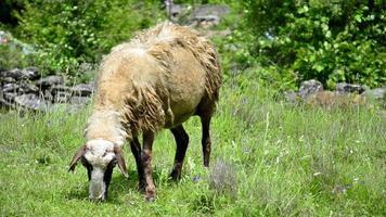 pascolare le pecore in montagna
