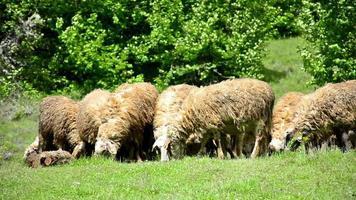 pecore al pascolo su erba rigogliosa