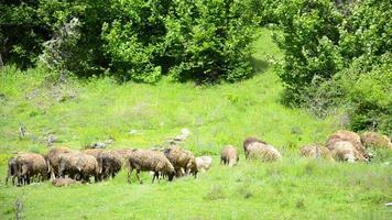 le pecore vengono allevate sull'altopiano