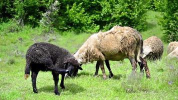 """ovejas en """"nueva zelanda video"""