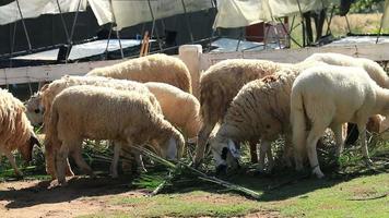Schaffütterung auf dem Bauernhof.