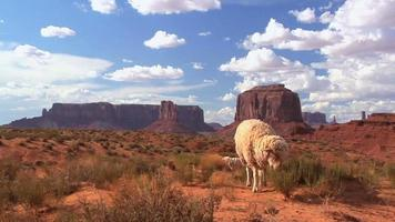 Zoom In Sheep Grazing Monument Valley video