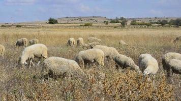 rebanho de ovelhas video