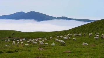 Flock of sheep grazing in the mountain video
