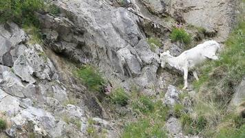 ovelhas dall descem montanha p hd video
