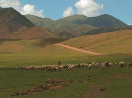 Sheep in the mountains of Tibet