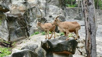 brown barbary sheep standing on stone mountain