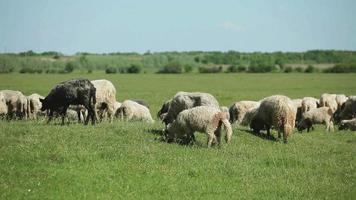 gregge di pecore al pascolo al pascolo video
