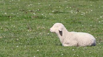 lamb on green pasture video