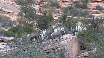 Desert Bighorn Sheep in the Fall rut