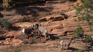 Desert Bighorn Herd in Rut