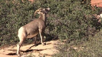Desert Bighorn Sheep Ewe Feeding