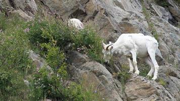 ovelhas dall pastando na montanha video