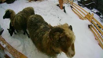 Schafe und Ziegen im Winter sind im Schnee und schauen in die Kamera
