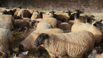 allevamento: pecore gravide in stalla