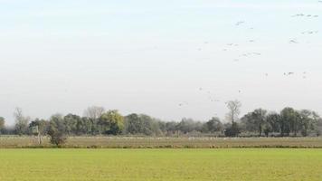 Bandada de grullas comunes durante la migración de aves de otoño