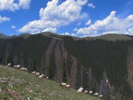 moutons dans les montagnes du tibet