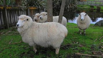 merino sheep in rural farm