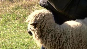 Schaf und Hirte