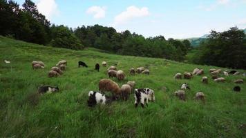 Rebaño de ovejas pastando en un campo video