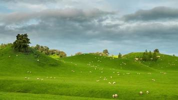 New Zealand Hillside Covered In Sheep Time Lapse