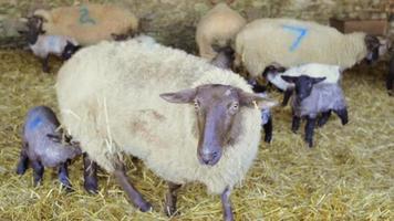 élevage: moutons et agneaux dans la grange