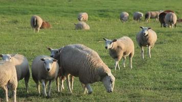 ovelha sentada video