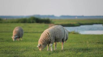 ovelha no prado video