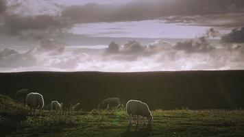 Schafe, die Gras essen video