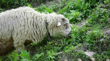 ovelhas da montanha pastando