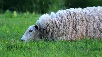 moutons au crépuscule