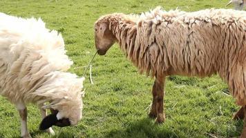 pecore in fattoria video
