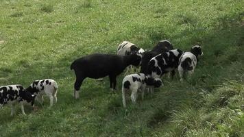 Giacobbe pecore al pascolo video