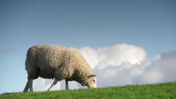 la pecora guarda in alto video