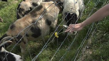 alimentando ovelhas jacob video