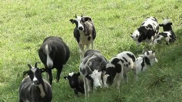Jacob sheep grazing