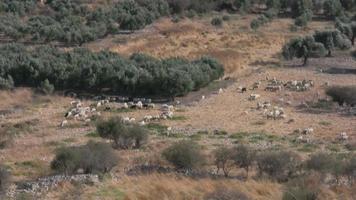 Schafe, die Gras essen