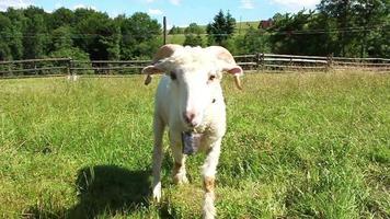 Schafe auf Rasen