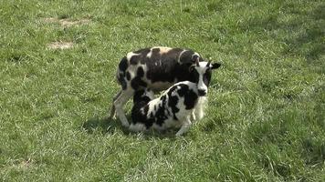 Feeding Jacob sheep