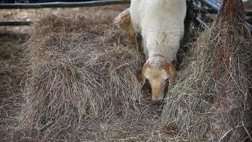 pecore che mangiano erba