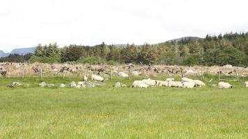 Feld mit Schafen