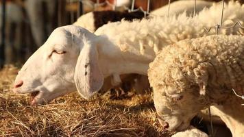 ovejas en granja