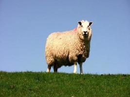 ovejas en el dique video
